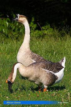 African Geese-2.jpg