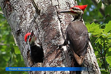 Pileated Woodpecker-2.jpg