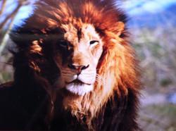 Lion at Safari Park