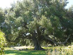 Old Oak at Bates Nut Farm, Valley Center