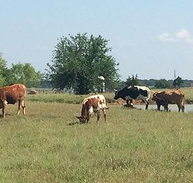 N40 cows.JPG