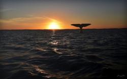La Baleine d'OCS