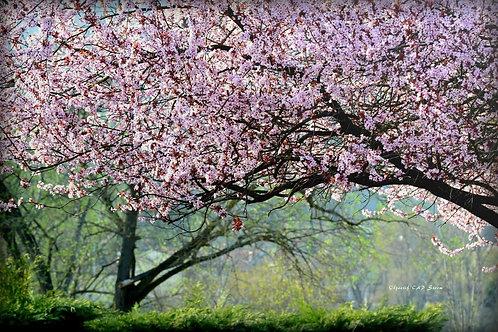 Le cerisier sauvage