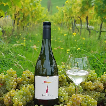 Sauvignon blanc T with grapes in vineyar