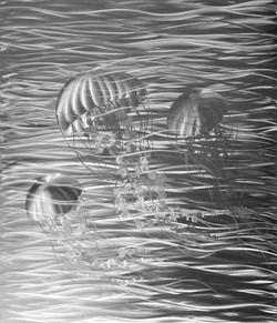 Sea Nettle Bloom