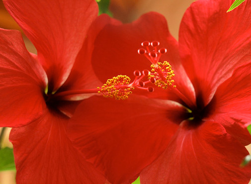 Hibiscus In Love