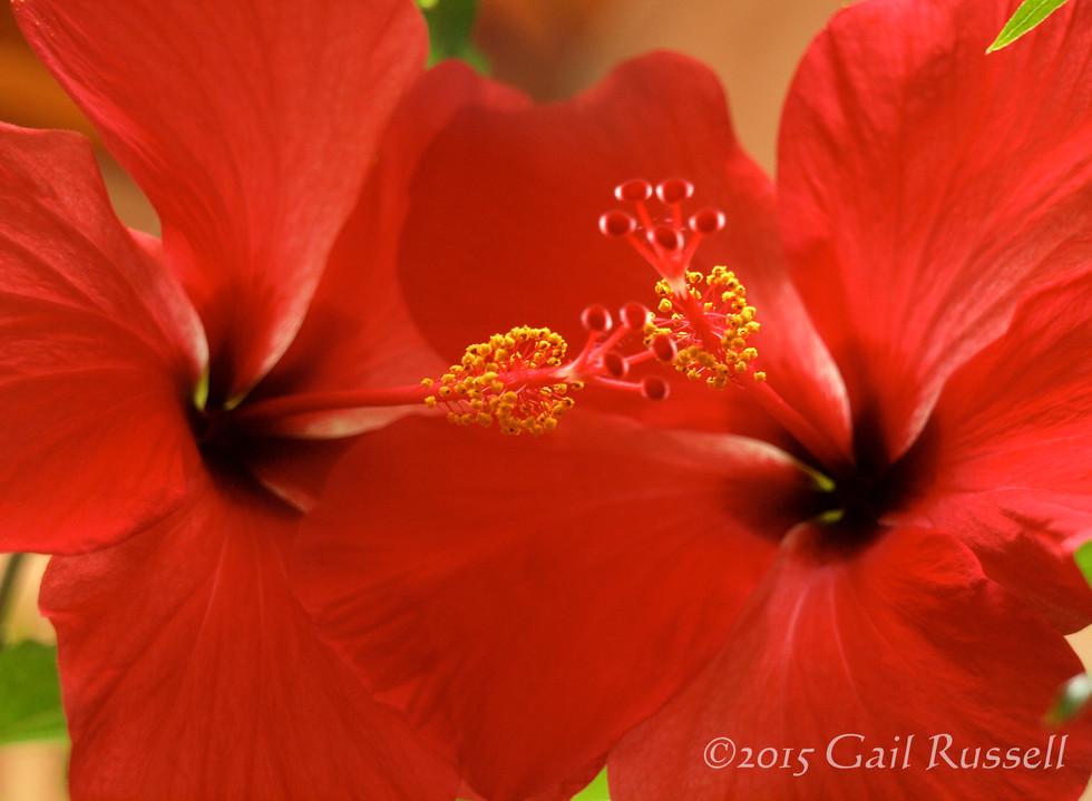 Hibiscus In Love