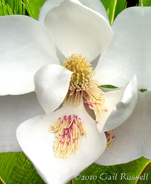 Gulf Coast Magnolia