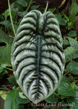 Silver Elephant Ear