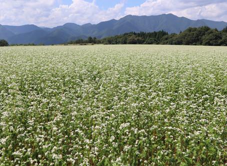 会津 下郷町 猿楽台地のそば畑