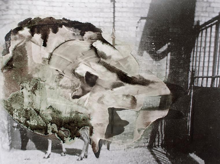 Bubale Hartebeest
