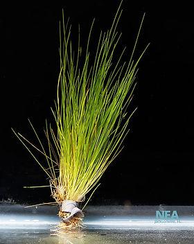 Natural-Environment-Aquatix-Dwarf-Hairgr