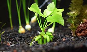 aquarium-banana-plant.jpg