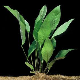 anubias-heterophylla.jpg