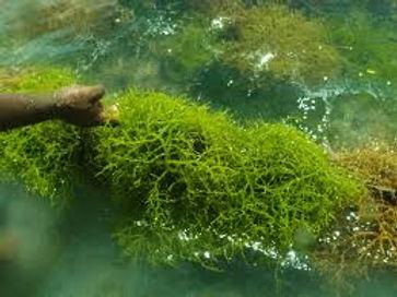 Green ALgae.jpeg