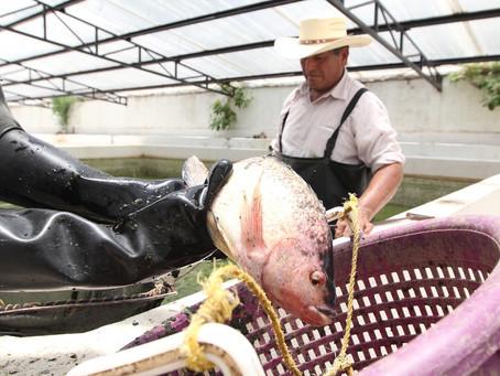 Entrega SEFOA crías de carga y tilapia para impulsar acuacultura en Tlaxcala