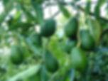 Avocado-Orchard.jpg