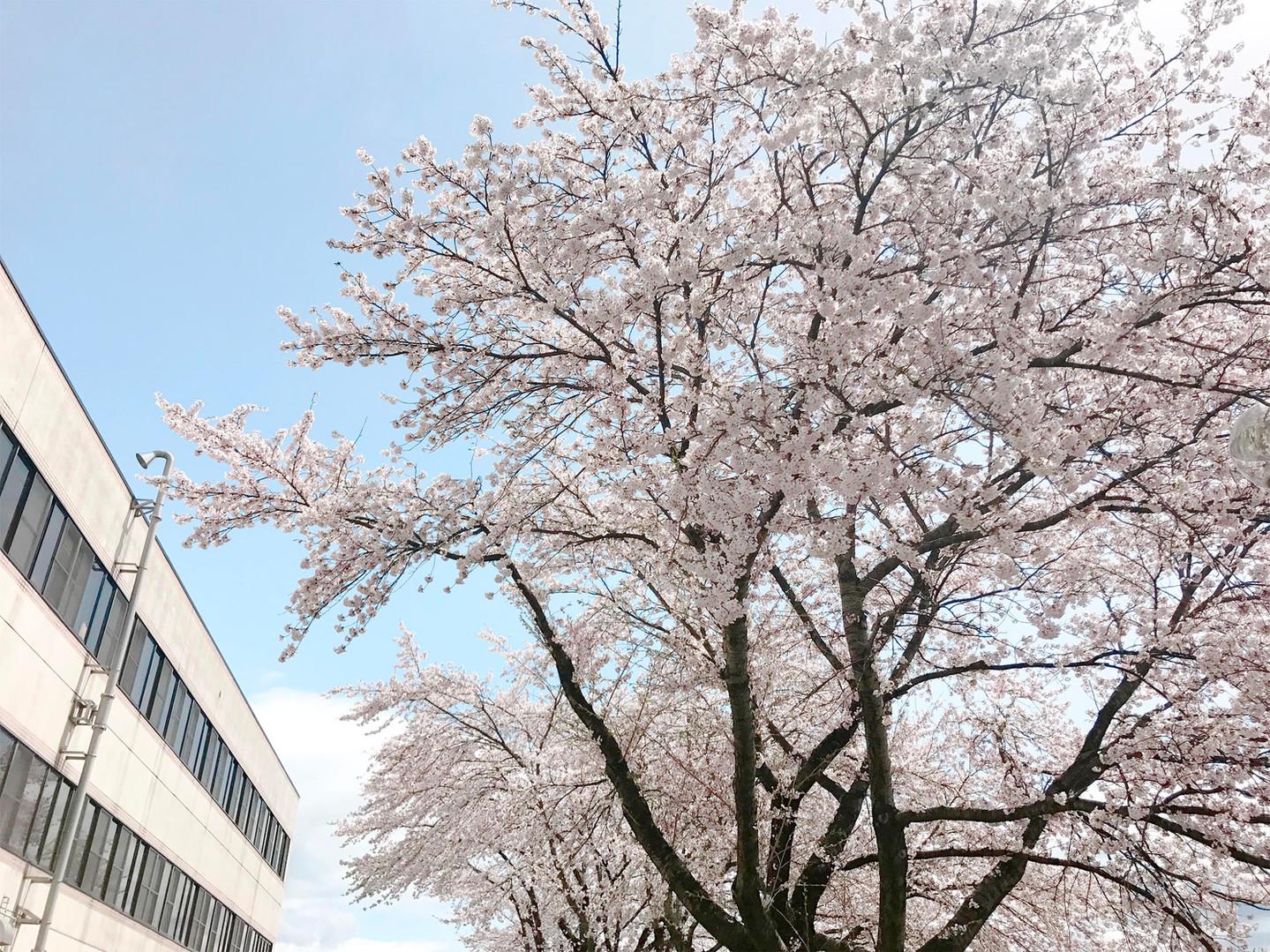 病院の桜の木。寒河江市桜の名所10選「寒河江見まもり桜」