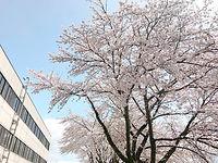 病院の桜の木「寒河江見まもり桜」