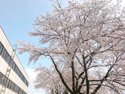 Hospital cherry tree