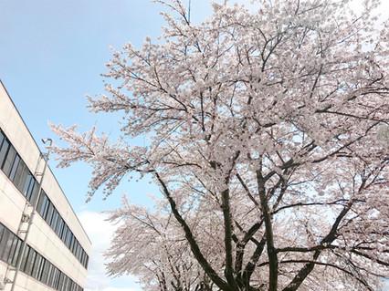 樱花在医院