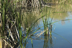 Reeds of Grass in the Water