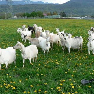 goats in field.jpg