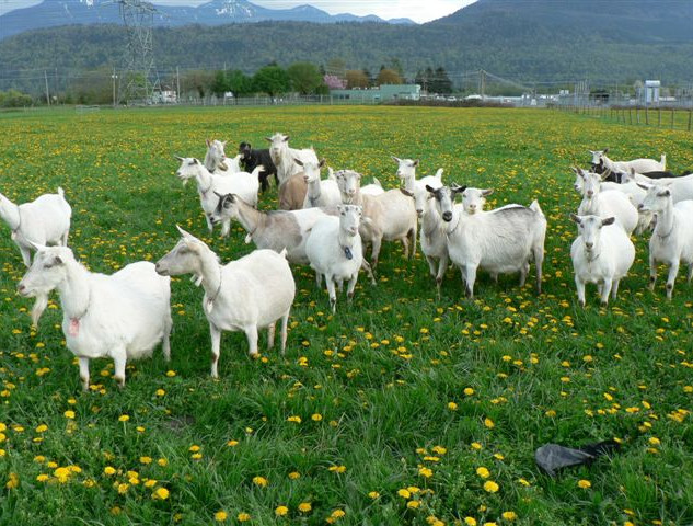 goats in field.jpg