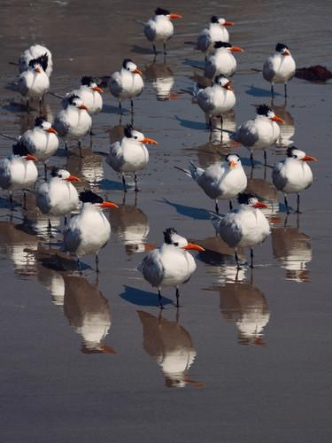 Terns Watching the Tide.jpg