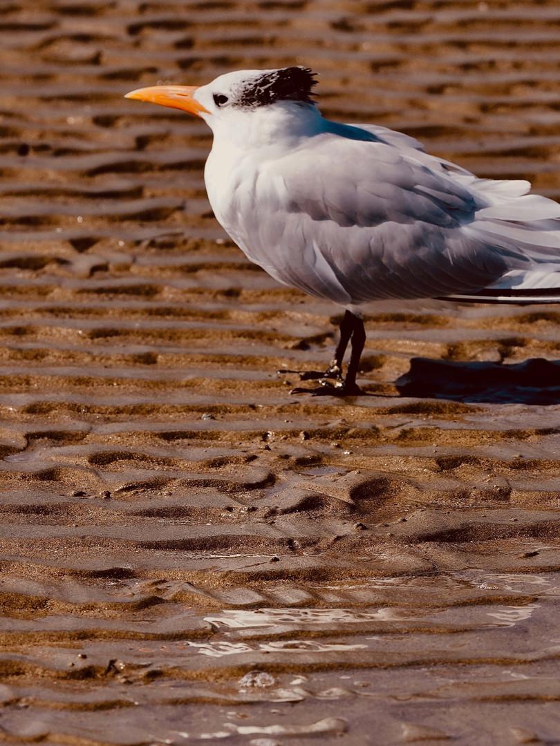 A Sole Tern.jpg