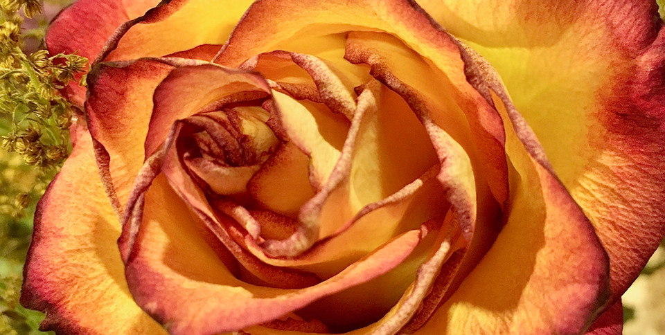 A Perfect Rose.jpg