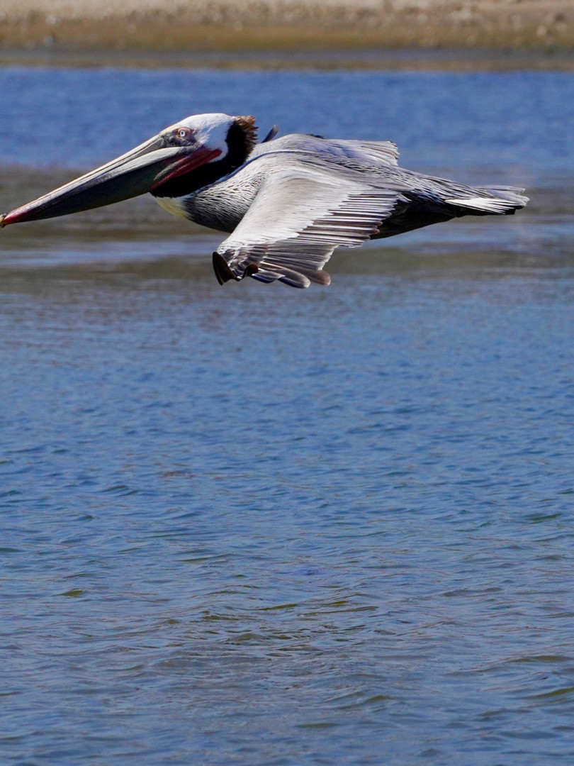 Pelican in Flight.jpg