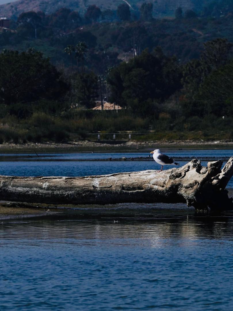 Sole Seagull.jpg