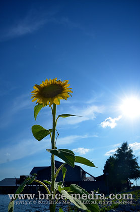 Sunflower Standing