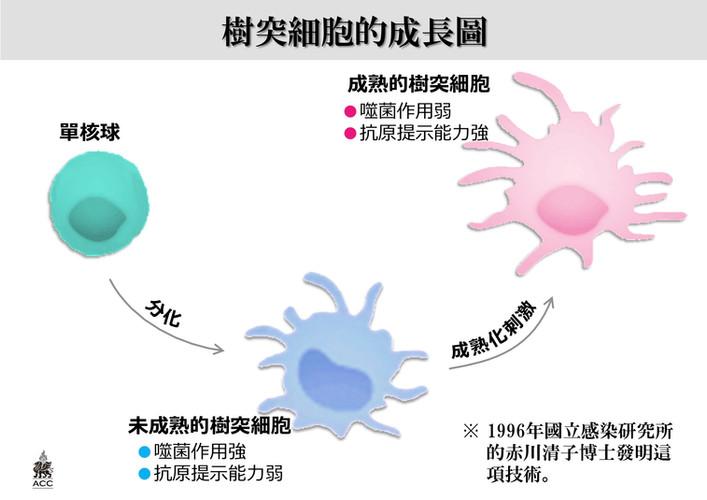 樹突細胞的成長圖