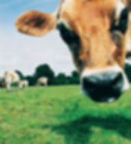 Kiss Me Cupcakes - Milk - Grovewood Farm Dairies