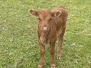 calve-1.jpg