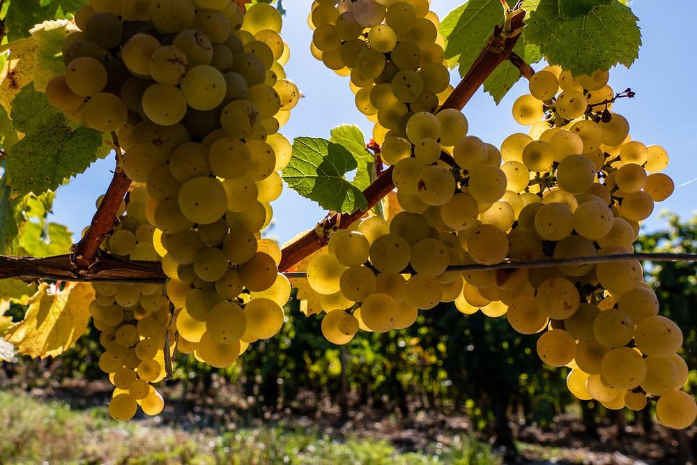 cépage blanc chardonnay