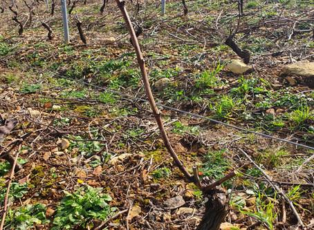 En hiver, c'est le moment de tailler nos vignes