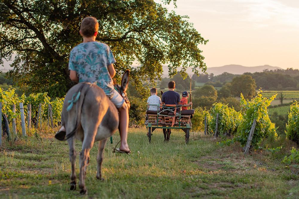 Promenade à dos d'ane dans les vignes