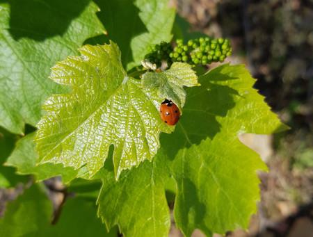 Ébourgeonnage et travaux en vert, au printemps la vigne se réveille !