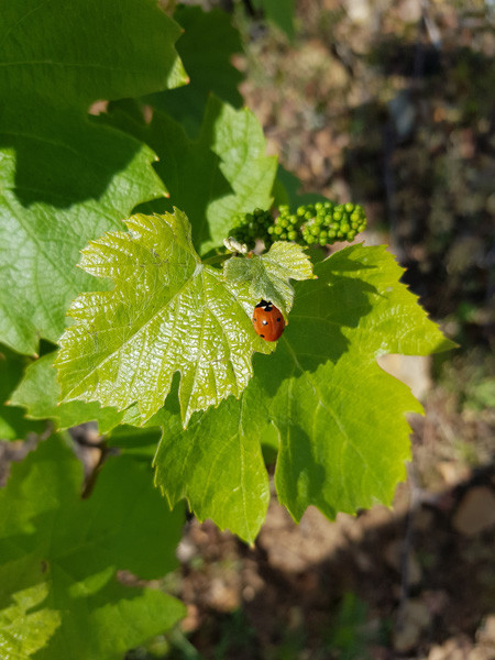 cep de vigne et bourgeons au printemps