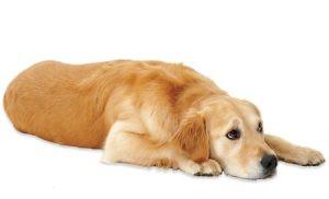 Osteoartrite canina: entenda como diagnosticar a doença de forma precoce