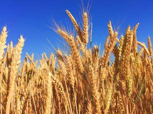 Dia do trigo: descubra como o segundo tipo de alimento mais consumido do mundo conquistou o mercado