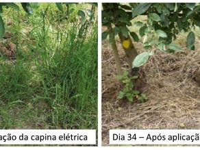 Tecnologia sustentável para controle de ervas daninhas é eficaz na fruticultura