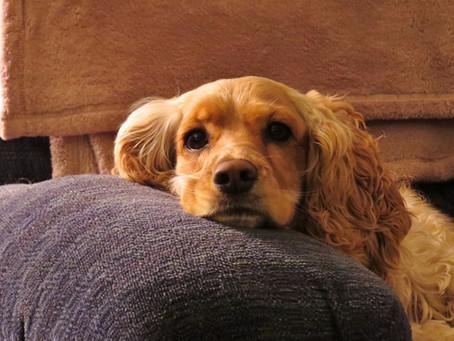 犬:タウリン欠乏による心臓病