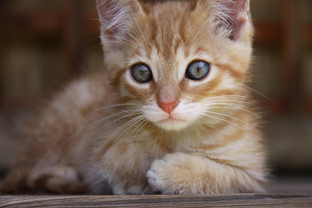 ginger cat holistic vet