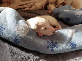 One of the Pav/Ana puppies