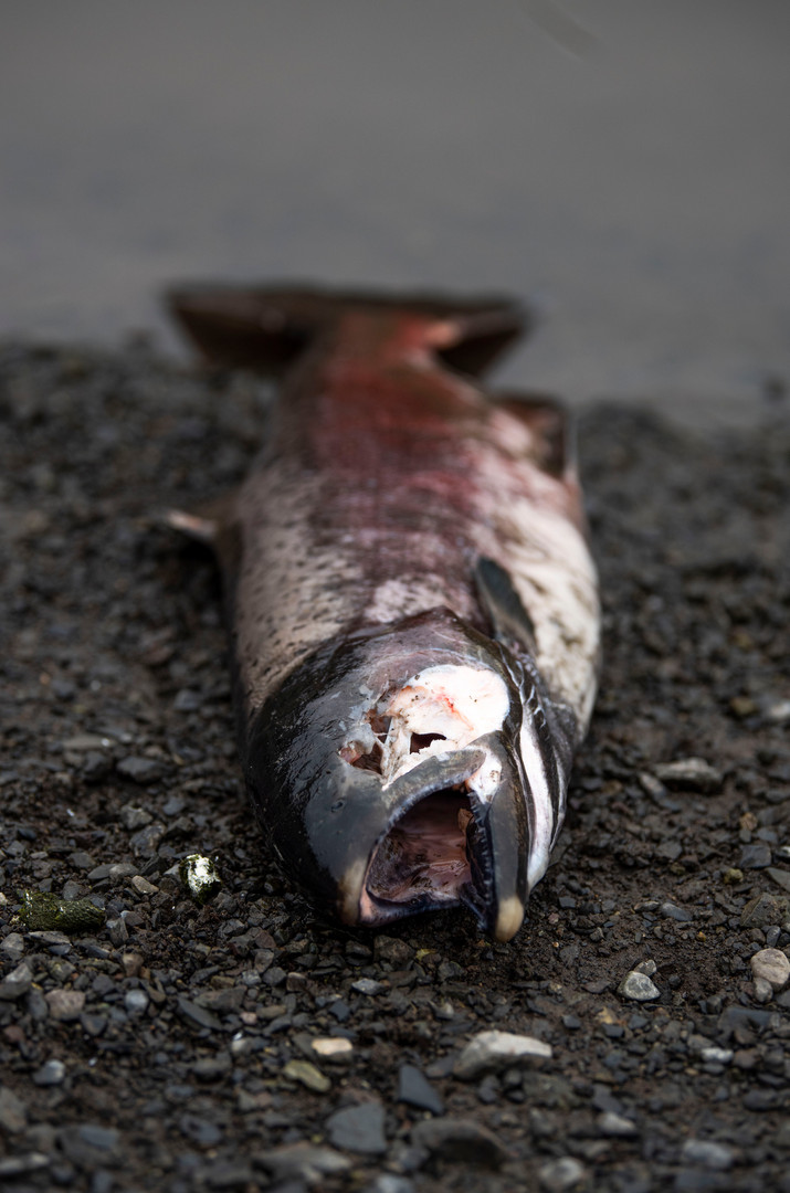 A salmon ready to be scavenged.