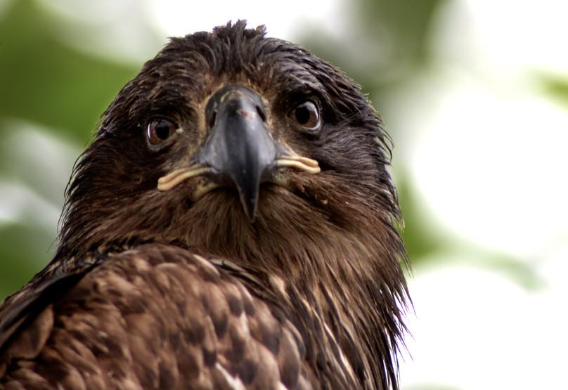 A young eagle in Cordova.